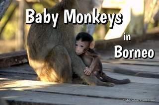 Baby Monkeys in the Borneo Wild