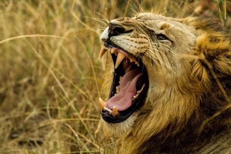 Lions in Africa - travel bucket list 2016