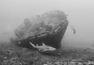 Lemon Shark on local Palm Beach wreak
