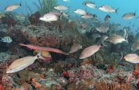 A Trumpetfish and several Grunts look for food on the reef