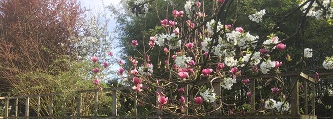 cerisier pêcher magnolia