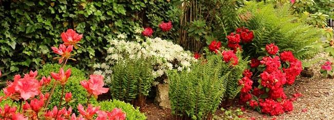 Le jardin d'ombre - Fougères crispas et azalées en fleurs