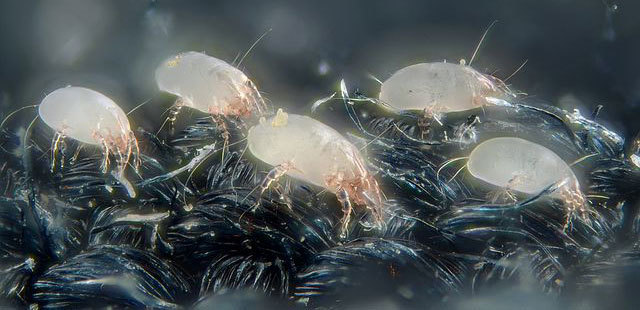 Dust mites in carpet