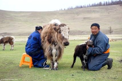 Mongolie, Vallée d'Orkhon, traite du yak
