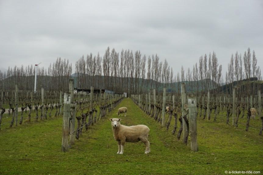 Nouvelle-Zélande, Blenheim, vignes