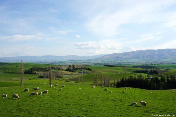 Nouvelle-Zélande, des moutons