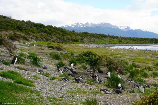 Argentine, Terre de feu, isla Martillo, manchots