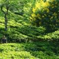 Sri Lanka, Ella, plantations de thé