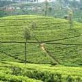 Sri Lanka, Haputale, plantations de thé Lipton seat