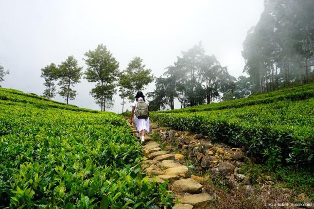 Sri Lanka, Haputale, écolière dans les plantations de thé