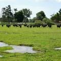 Camargue, taureaux