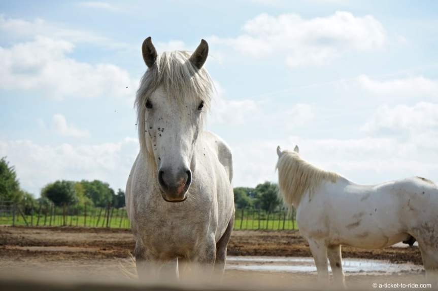 Camargue, cheval camarguais