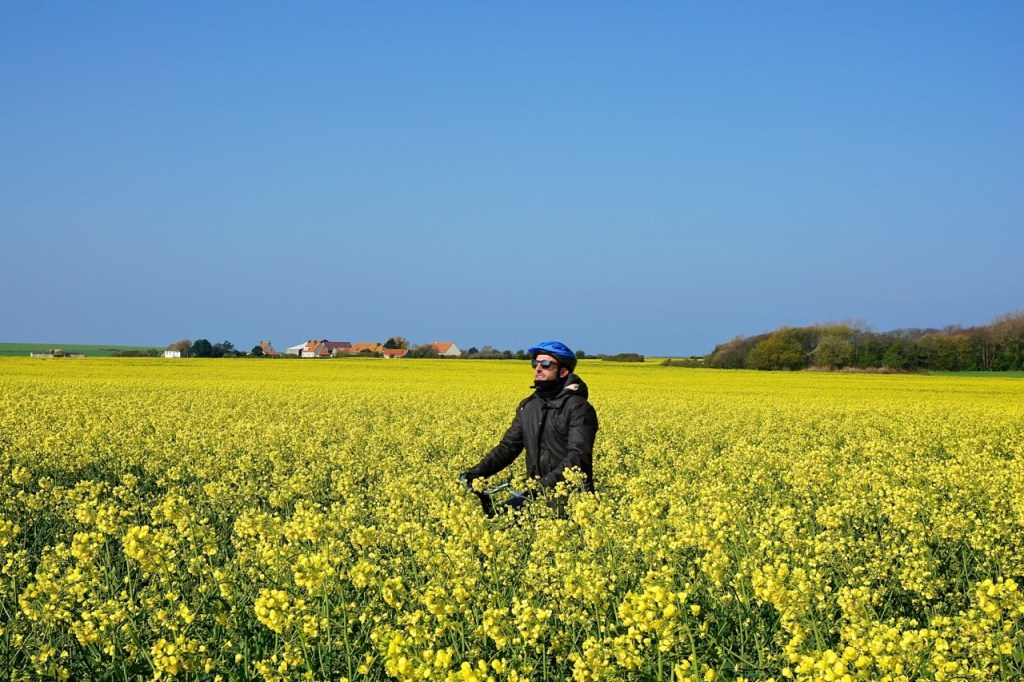 Cote d'Opale, champs de colza