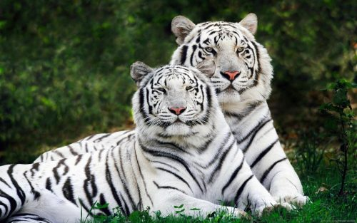 Beyaz Kaplan (Beyaz Bengal Kaplanı)