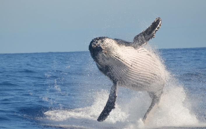 Balinalar Su Altında Nasıl Süt İçer?