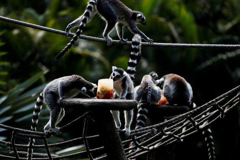 Lemures comen helado de frutas por el calor del verano en el Zoológico La Aurora en Ciudad de Guatemala (Guatemala). EFE/Esteban Biba/ARCHIVO