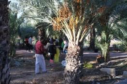 Limpieza de varios huertos de palmeras en Elche
