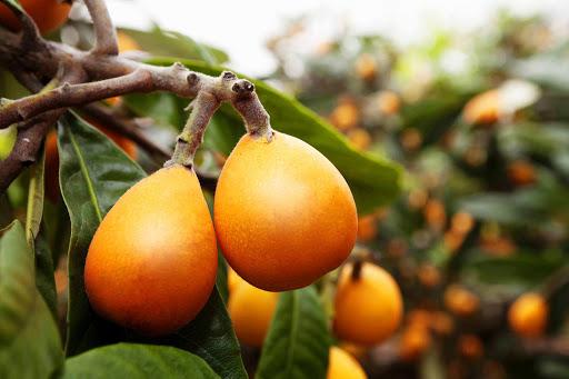 Productores de nísperos y cerezas de Alicante alertan de la falta de mano de obra para la presente campaña por ausencia de temporeros