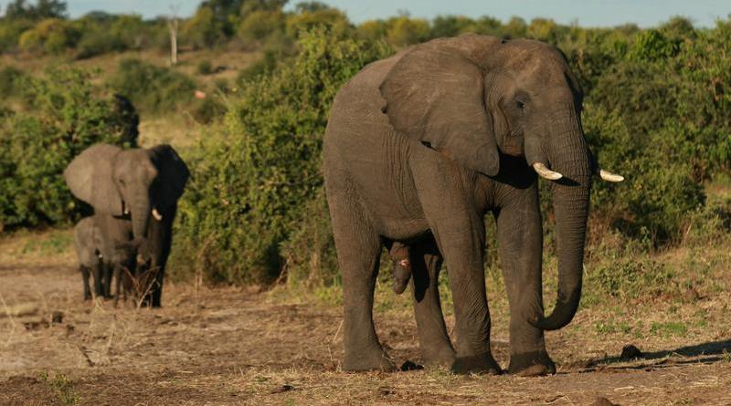 Alarma en Botswana: mueren más de 300 elefantes en extrañas circunstancias