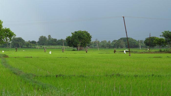 farmers in a rice field