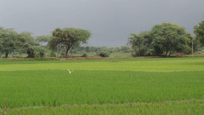 white crane in a green rice field