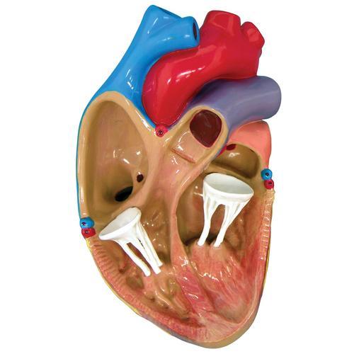 Heart Model Project Anatomy