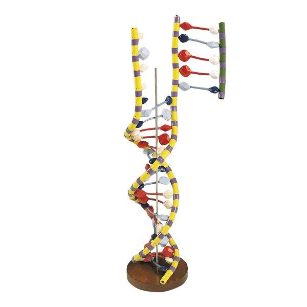 DNA Double Helix - W19205 - Biology Supplies - Biology ...
