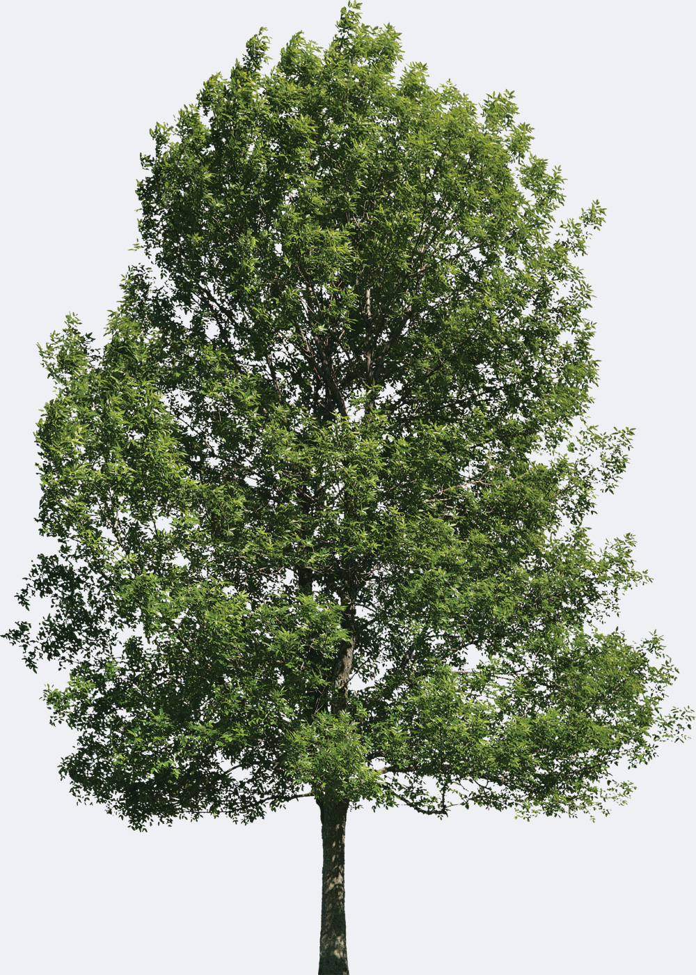 Hickory Species Page