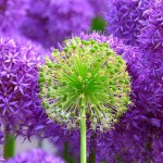 purple flower, to represent a new perspective in mindfulness-based dementia care