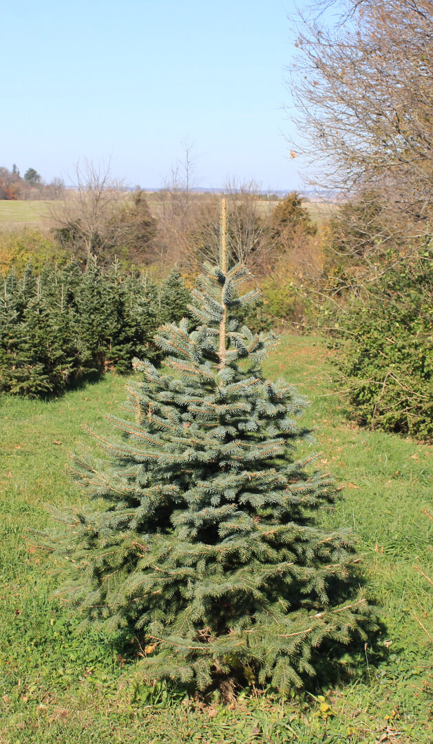 picture of a Colorado Blue Spruce tree