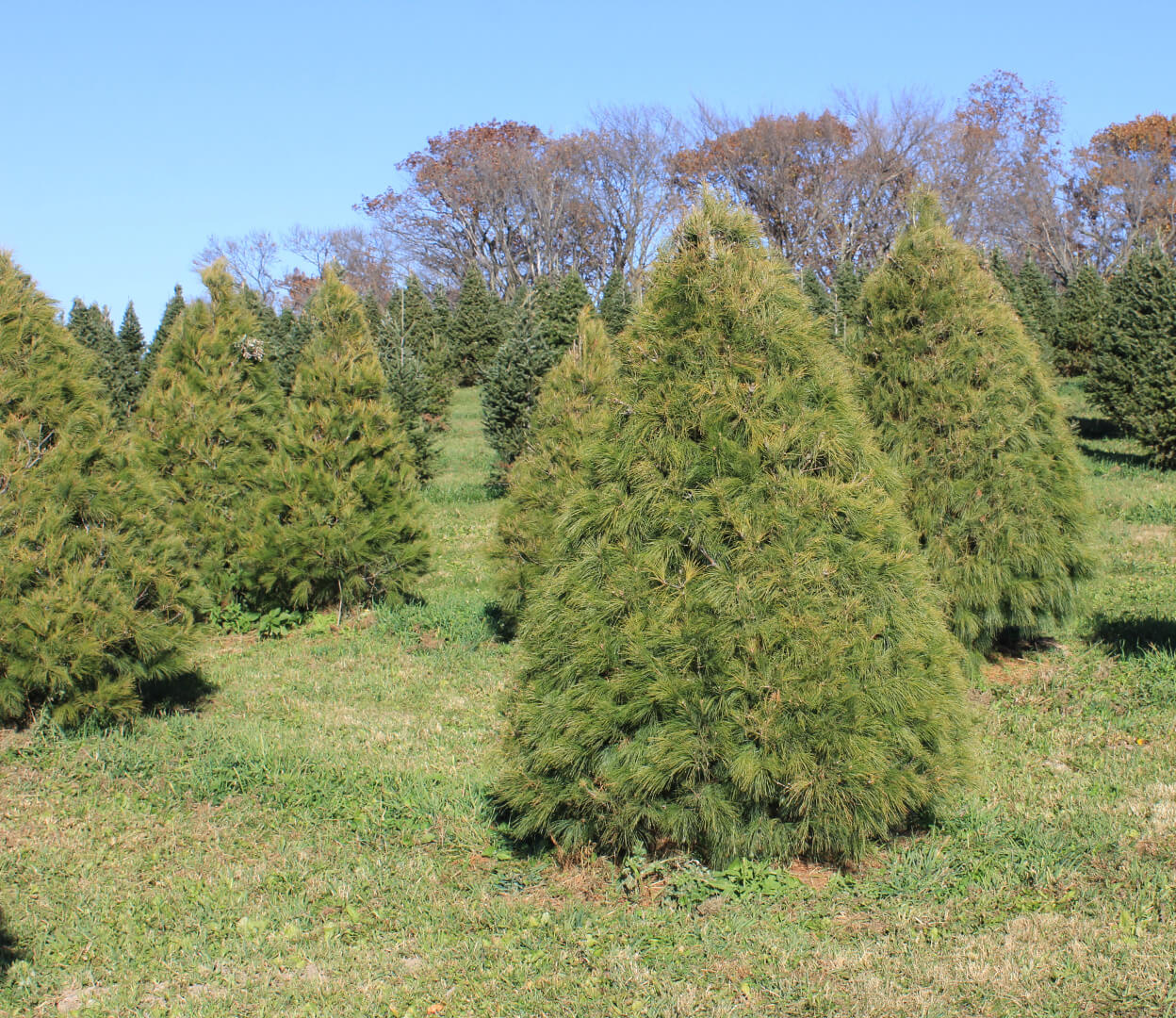 picture of a White Pine tree