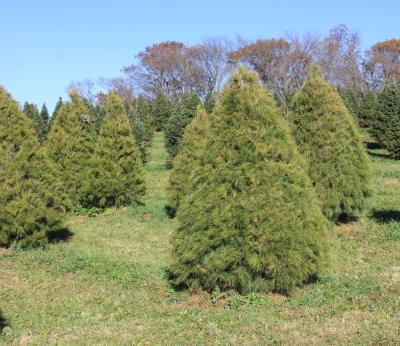 picture of a row of White Pine trees