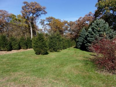 windbreak with Norway Spruces - 4yrs old