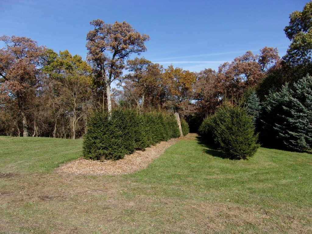 windbreak with Norway Spruces 4yrs old