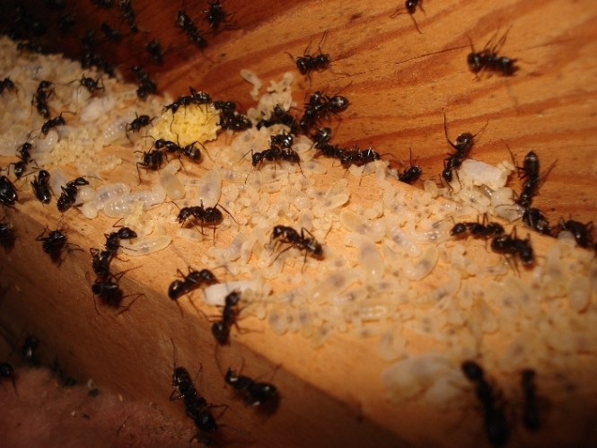 Pest Gallery St Louis Mo Control And Termite Services Treatment Inspections Exterminator Antimite