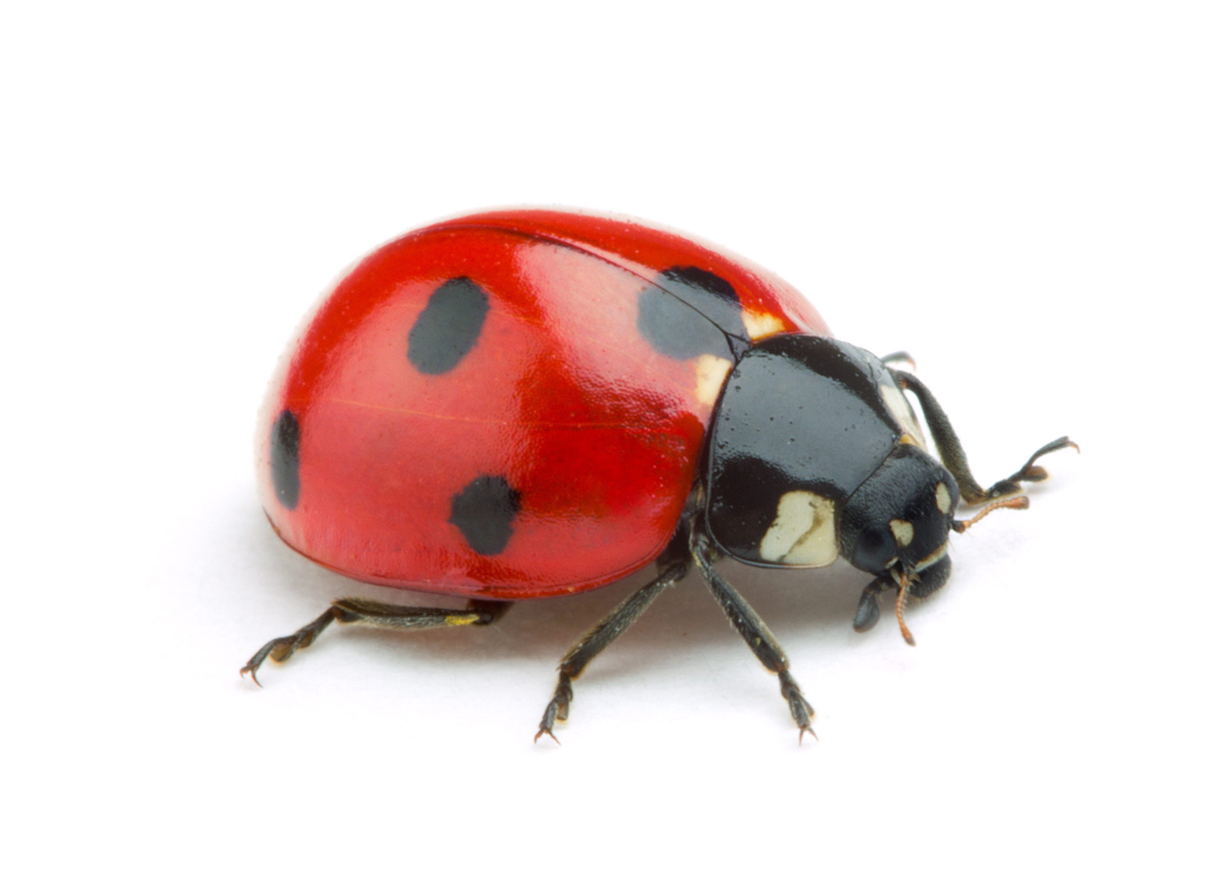 Lady Bug White Background Pictures To Pin