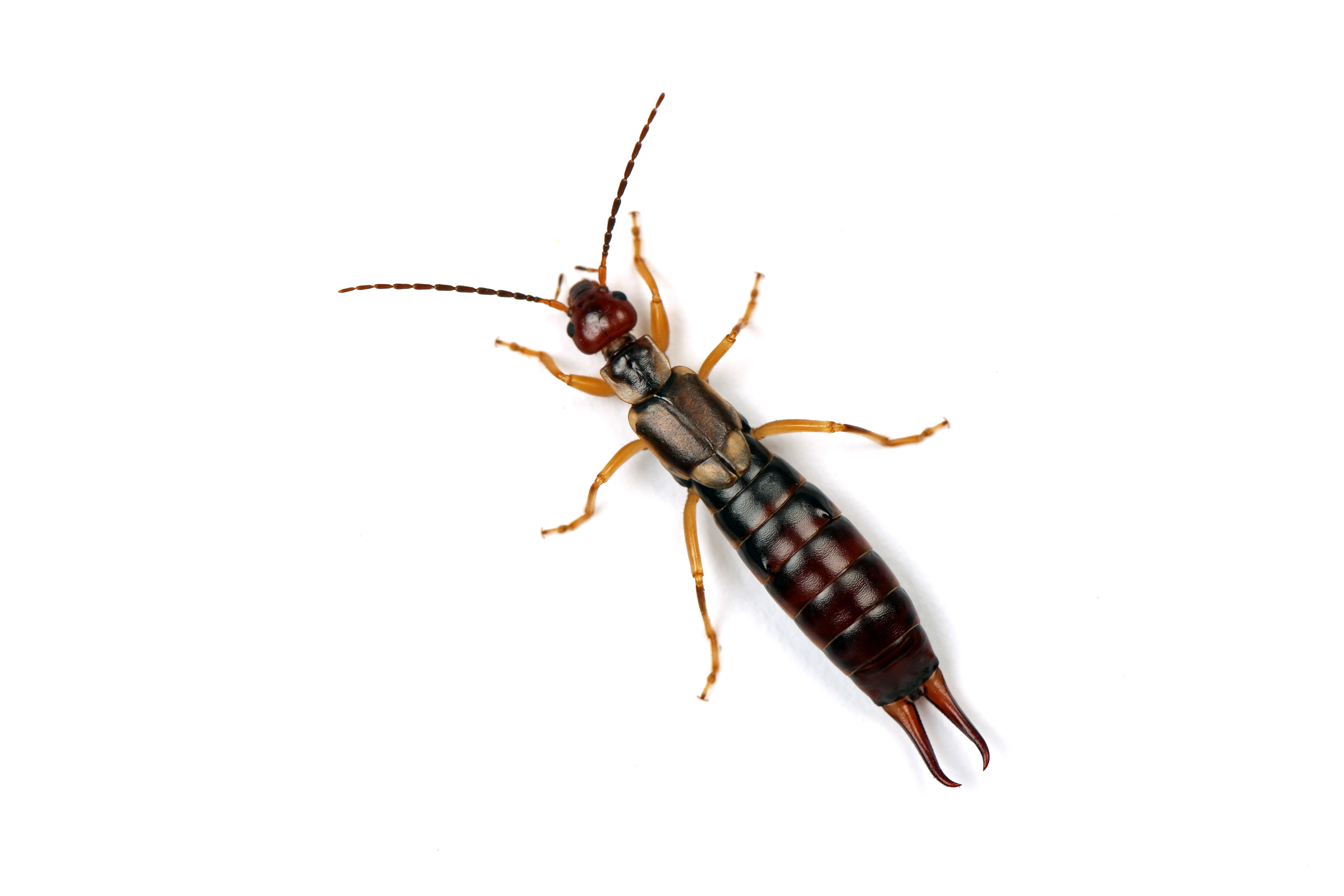 how to get rid of pincher bugs in my house
