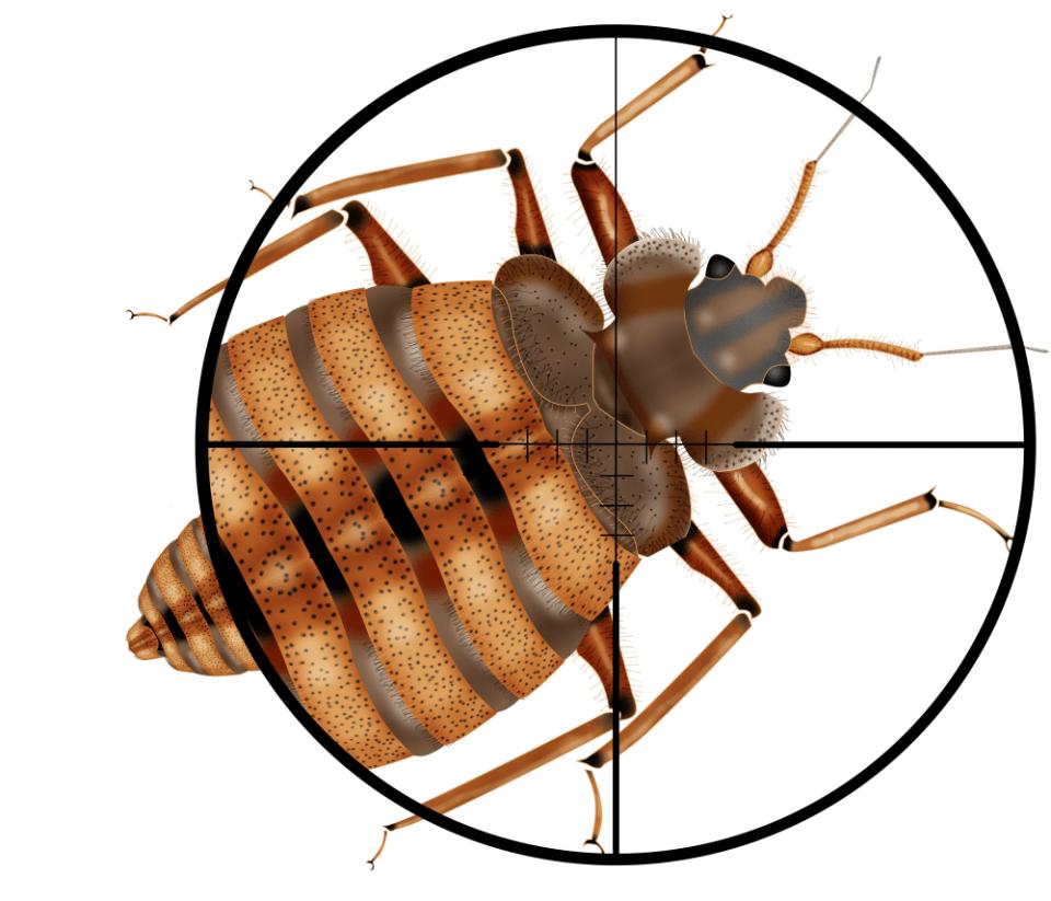 kong to how en bug bed bugs walking get main pest of control rid rentokil facts hong