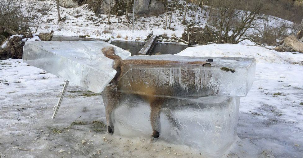 extreme cold freezes a fox in a river in germany