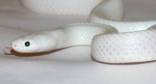 Image result for white snake