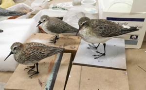 Completed models of (left to right) western sandpiper, semipalmated sandpiper, and white-rumped sandpiper.