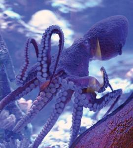 View of an octopus in a tank.