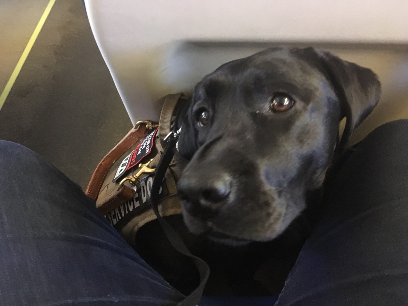 The service dog is seen perched on the floor by the author's legs in a train seat.