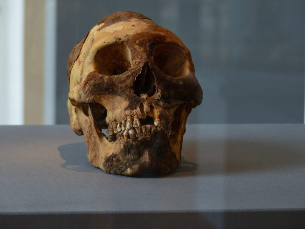 A historical skull on display