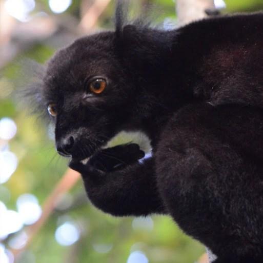 A black lemur up close