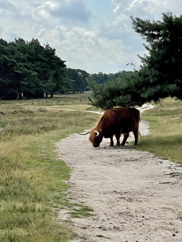 Schotse Hooglanders in Bussum