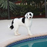 Portuguese-Water-Dog68
