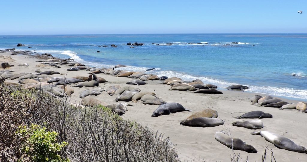 Elephant seal beach San Simeon across from Hearst Castle