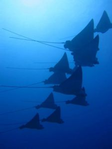Spotted Eagle Rays6