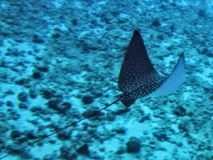 ray-spotted eagle ray